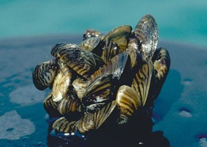 zebra mussel