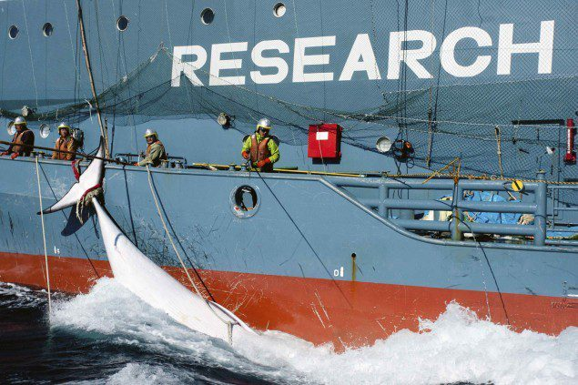 yushin maru whaling japanese cetacean research sea shepherd